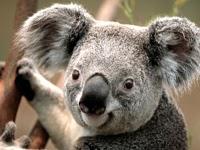 KoalaThumb